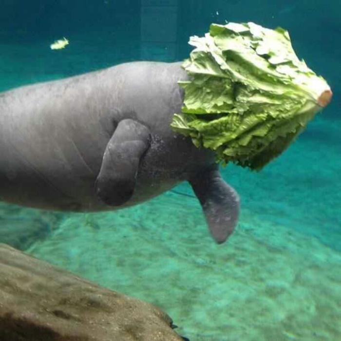 Водоросли, которые ест ламантин, под водой похожи на развевающиеся волосы.   Фото: 2048online.github.io.